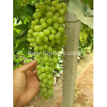 Fresh Thompson seedless grape